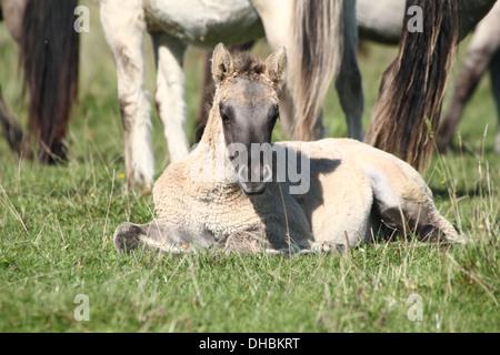 Young foal among a group of Polish primitive horses a.k.a. Konik Horses - Stock Photo