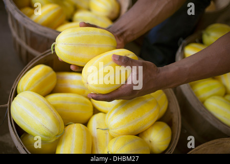 A farm growing and selling organic vegetables and fruit. A man harvesting striped squashes. - Stock Photo