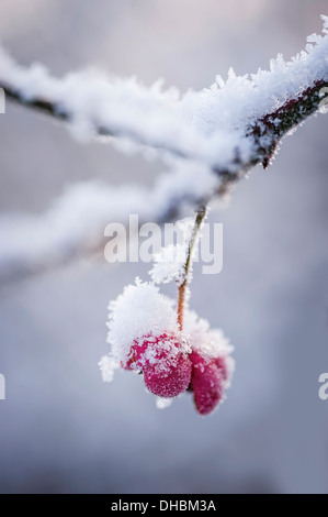 Spindle Tree, Euonymus europaeus, single pink outer case for the berry covered in snow. - Stock Photo