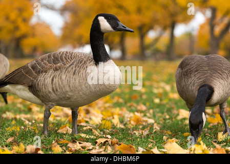 Canadian geese in the park. Chicago, IL - Stock Photo