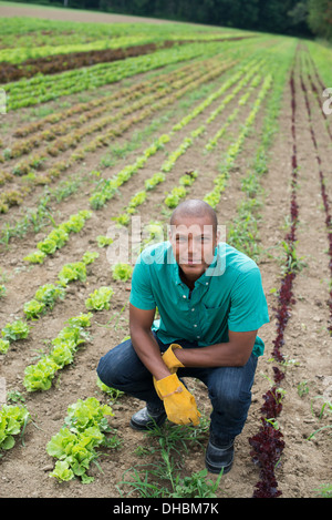 A man in a field of small salad plants growing in furrows. - Stock Photo