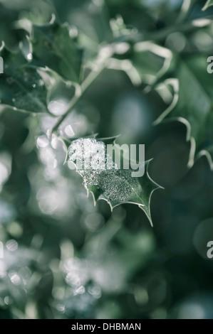 Holly, Ilex aquifolium leaves with melting snow against a dappled background. - Stock Photo