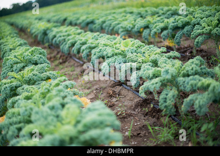 Rows of curly green vegetable plants growing on an organic farm. - Stock Photo