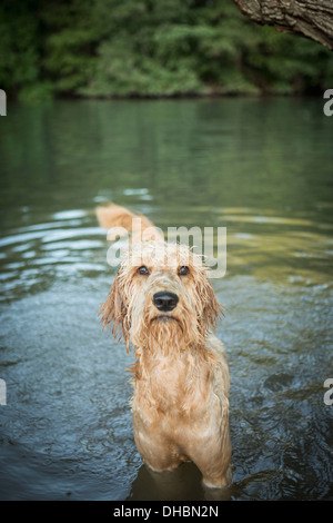 A golden labradoodle standing in the water looking up expectantly. - Stock Photo