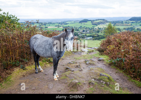 One of the wild ponies on Bickerton Hill Cheshire England UK - Stock Photo