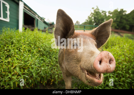 An organic farm in the Catskills. A pig. - Stock Photo