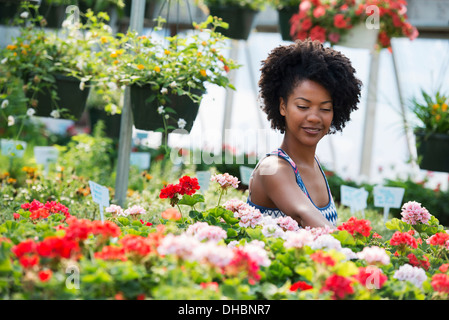 A woman working amongst flowering plants. Red and white geraniums on a workbench. - Stock Photo