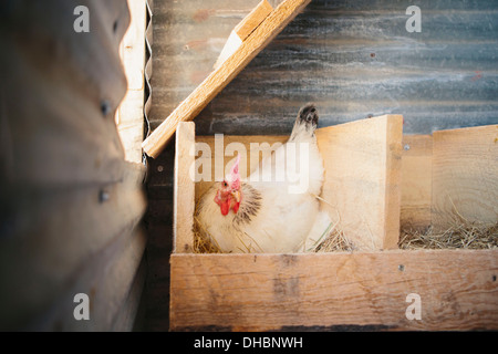 A chicken laying an egg in a nest box in a henhouse. - Stock Photo