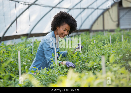 A woman working in the glasshouse, tending plants on a greenhouse bench. - Stock Photo