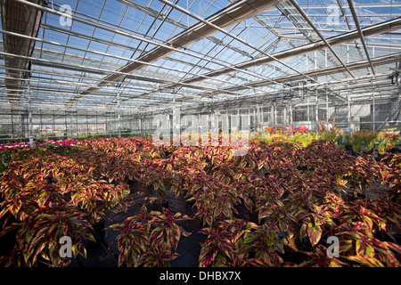 A Combat Coleus plant cultivation (Solenostemon scutellarioides), in the Vichy horticultural production Centre. - Stock Photo