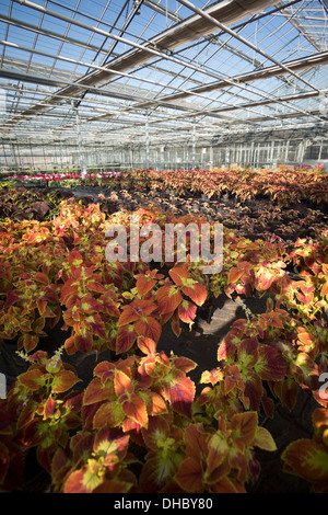 A Trusty Rusty California Coleus plant cultivation (Solenostemon scutellarioides), in the Vichy horticultural production - Stock Photo