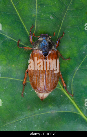 Common cockchafer / May bug (Melolontha melolontha) on leaf in oak tree in forest