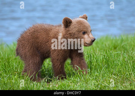 European brown bear / Eurasian brown bear (Ursus arctos arctos) cub on riverbank / lake shore