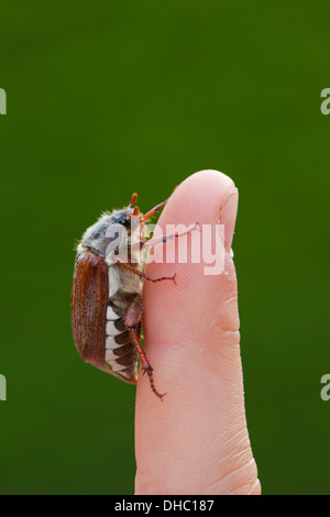 Common cockchafer / May bug (Melolontha melolontha) on finger