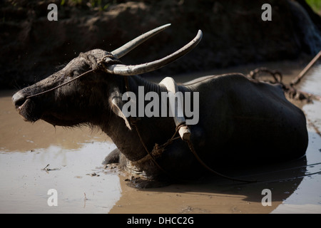 A carabao rests during a break period while working to level a rice field near Mansalay, Oriental Mindoro, Philippines. - Stock Photo