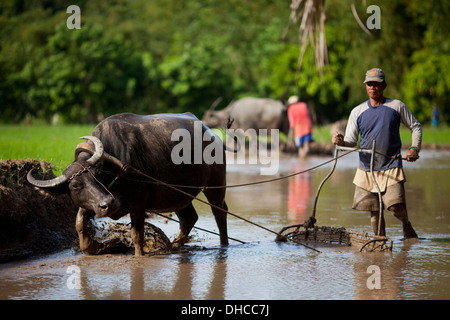 Filipino farmers drive carabaos while working to level a rice field near Mansalay, Oriental Mindoro, Philippines. - Stock Photo