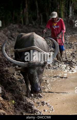 A Filipino farmer drives a carabao while working to level a rice field near Mansalay, Oriental Mindoro, Philippines. - Stock Photo