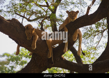 African Lion resting in tree. Lake Manyara National Park. Panthera leo. Tanzania, Africa. King of the Jungle. Mane. - Stock Photo