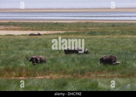 African Cape Buffalo. Savanna Buffalo. Syncerus caffer. Lake Manyara National Park. Tanzania, Africa. One of Big - Stock Photo