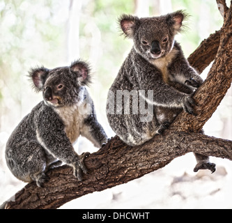 A Koala bear sitting in a tree in Australia - Stock Photo