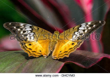 Cruiser Butterfly (female) - Vindula arsinoe - Queensland - Australia - Stock Photo
