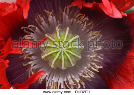 Opium poppy, papaver somniferum - Stock Photo