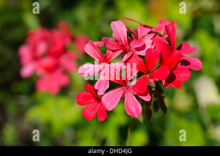 Close up of a red geranium Stock Photo, Royalty Free Image ...
