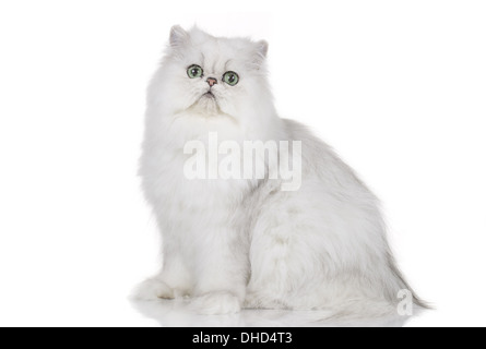 Chinchilla persian cat isolated on white - Stock Photo