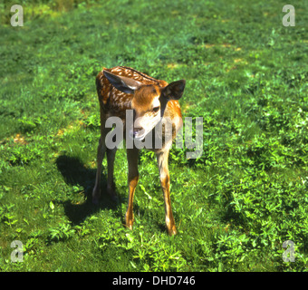 Red deer calf on a greenfield - Stock Photo