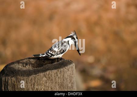 Pied Kingfisher (Ceryle rudis)) Kotu Stream Gambia west Africa - Stock Photo