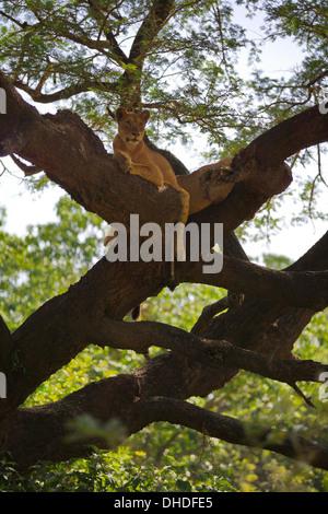 African Lion resting in tree. Lake Manyara National Park. - Stock Photo