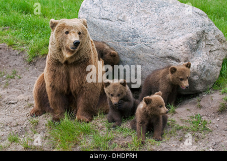 Eurasian brown bear (Ursus arctos arctos) female with four cubs - Stock Photo