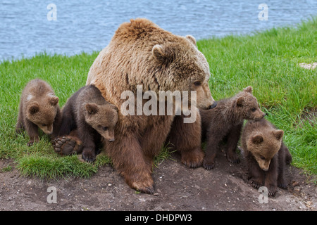 Eurasian brown bear / European brown bear (Ursus arctos arctos) mother with four cubs on riverbank - Stock Photo