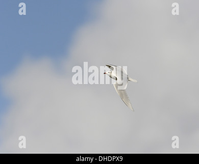 Mediterranean Gull Larus melanocephalus - in flight winter - Stock Photo