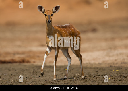 Female Bushbuck (Tragelaphus scriptus) looking at camera; one leg lifted - Stock Photo