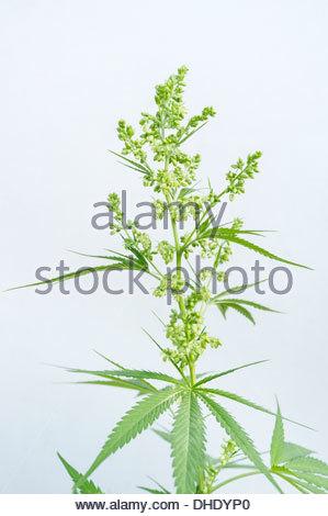 The flower buds of a male Marijuana (Cannabis sativa) plant. - Stock Photo