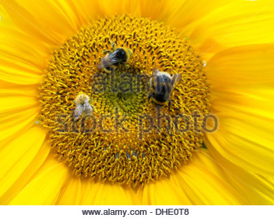 Bumblebees on a giant sunflower (Helianthus annuus) blosson - Stock Photo