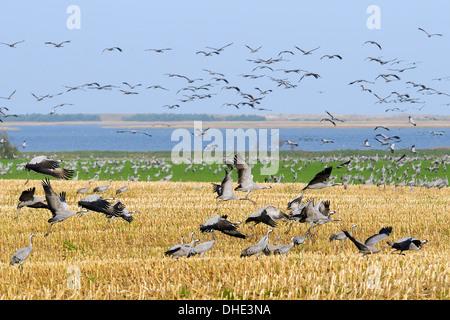 Common / Eurasian crane (Grus grus) flock taking off from maize stubble near Baltic Sea shore, Hohendorf, northern Germany.