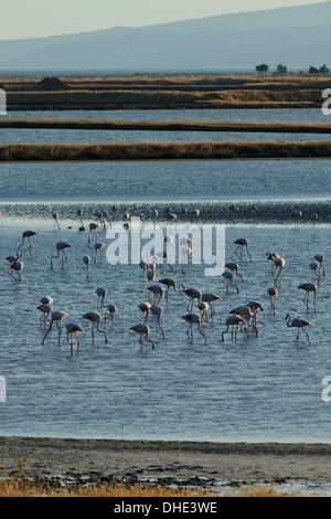 Greater flamingos (Phoenicopterus roseus) feeding at Kallini salt pans during the autumn migration period, Lesbos, - Stock Photo