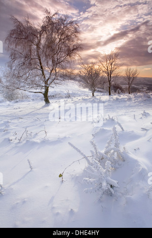 Snow covered Gorse on North Hill, Malvern Hills with Silver Birch in the background at sunset - Stock Photo