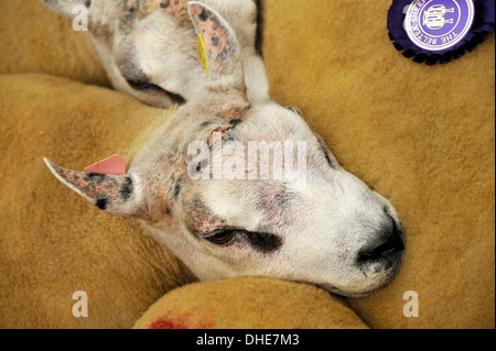 Beltex rams in pen ready for sale. Cumbria, UK. - Stock Photo
