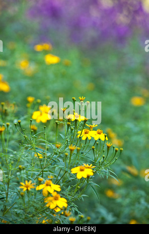A bunch of bright marigold flowers in a garden setting. - Stock Photo