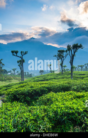 Sunrise over tea plantations, Haputale, Sri Lanka Hill Country, Sri Lanka, Asia - Stock Photo