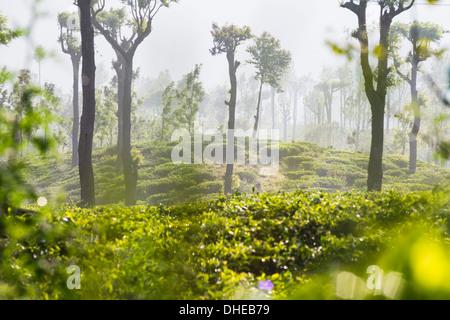 Sunrise at tea plantations, Haputale, Sri Lanka Hill Country, Nuwara Eliya District, Sri Lanka, Asia - Stock Photo