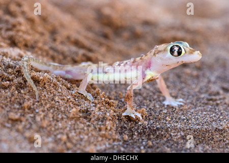 Webfooted gecko (Palmatogecko rangei), Namib Desert, Namibia, Africa - Stock Photo