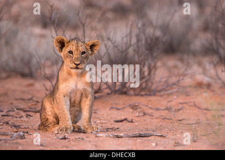Lion cub (Panthera leo), Kgalagadi Transfrontier Park, South Africa, Africa - Stock Photo