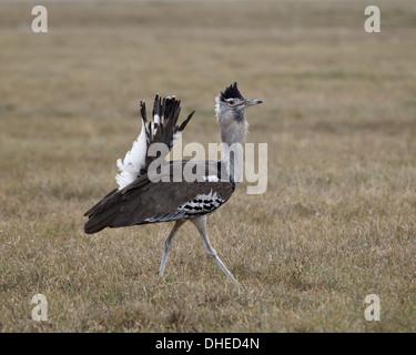 Male Kori bustard (Ardeotis kori) displaying, Ngorongoro Crater, Tanzania, East Africa, Africa - Stock Photo