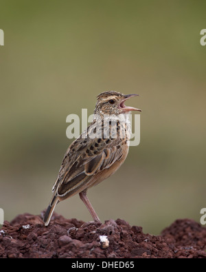 Rufous-naped lark (Mirafra africana), Ngorongoro Crater, Tanzania, East Africa, Africa - Stock Photo