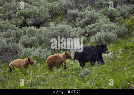 Black bear (Ursus americanus) sow and two cinnamon yearling cubs, Yellowstone National Park, UNESCO, Wyoming, USA - Stock Photo