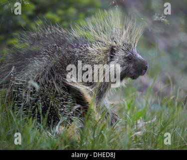 Porcupine (Erethizon dorsatum), Medicine Bow National Forest, Wyoming, United States of America, North America - Stock Photo